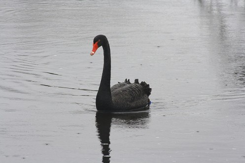 Cisne negro